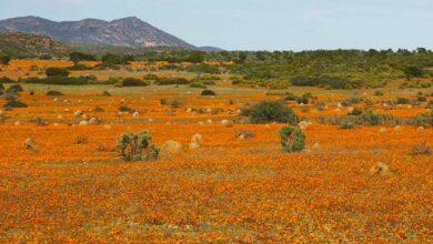 Die Wüste blüht in bunten Farben